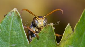 White-faced Brown Paper Wasp - Ropalidia  plebeiana  2
