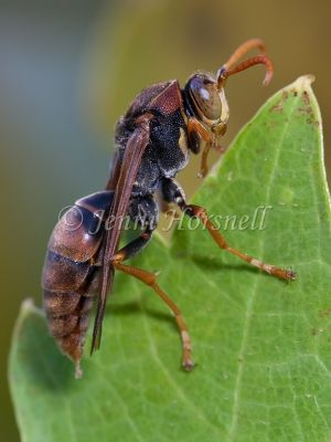 White-faced Brown Paper Wasp - Ropalidia  plebeiana